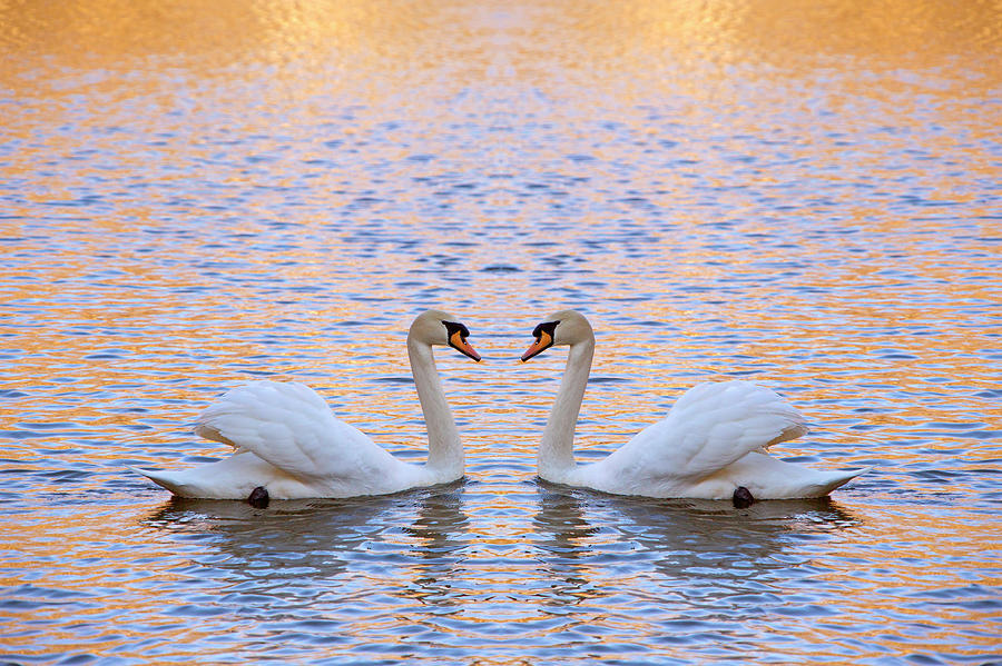 Two Swans Photograph