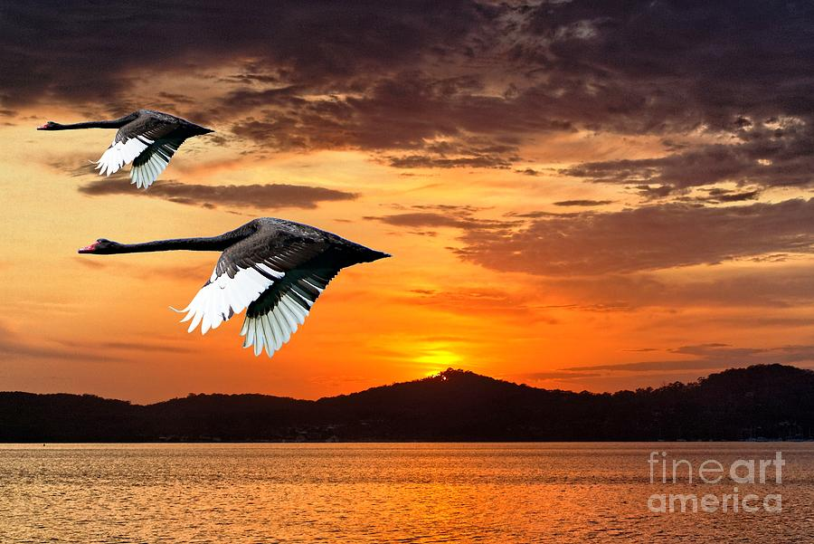 Two Swans in Full Flight at Dawn.   by Geoff Childs