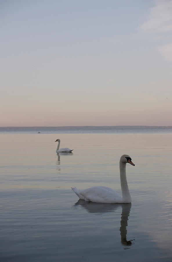 Two Swans Photograph by Stanislovas Kairys