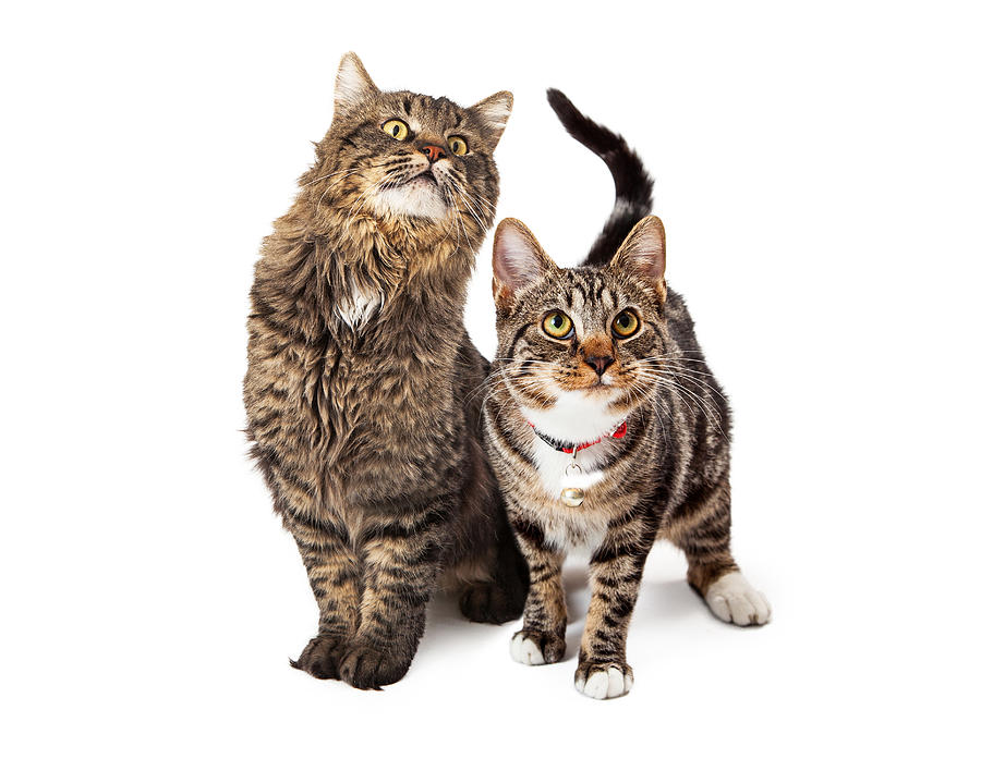 Two Tabby Cats Looking Up Photograph
