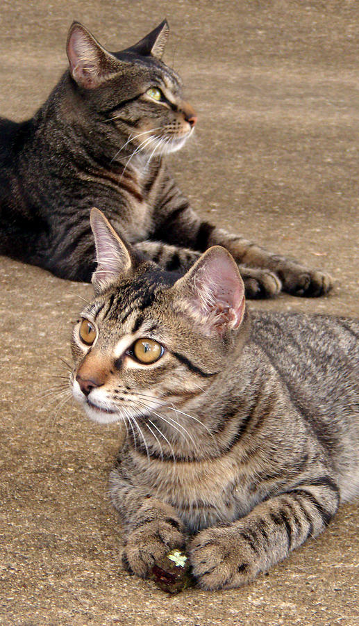 Tabby Photograph - Two Tabby Cats by Nicole I Hamilton