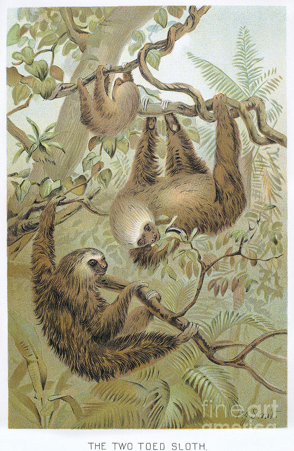1904 Photograph - Two-toed Sloth by Granger