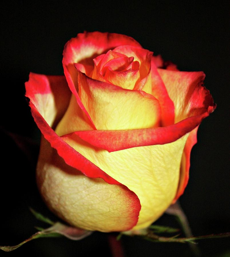 Roses Photograph - Two Tone Rose by Cathie Tyler