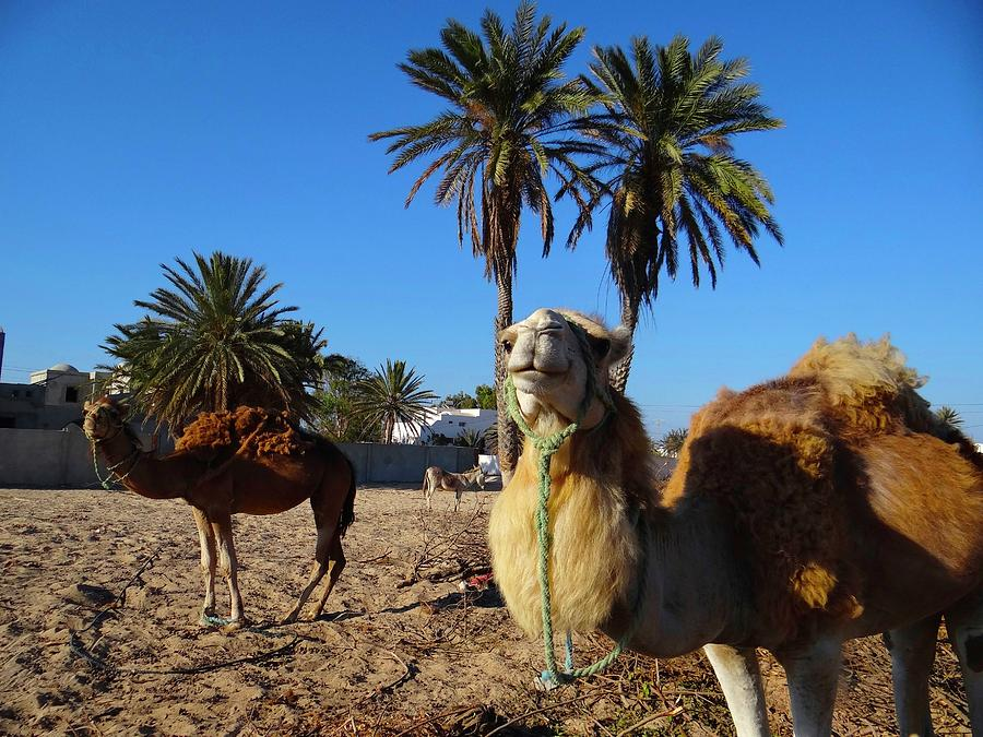Unschooling Photograph - Two Tunisian Camels by Exploramum Exploramum