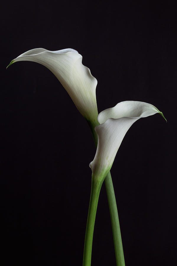 Two White Calla Lilies Photograph By Cristina Velina Ion