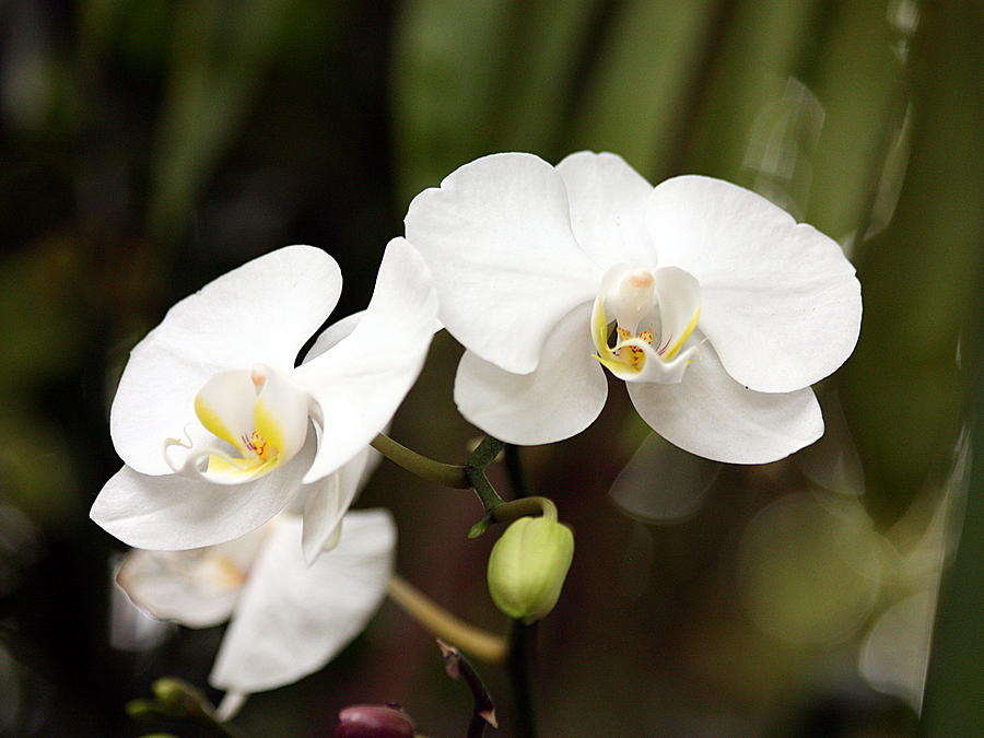 Nature Photograph - Two White Orchids by Sheila Brown