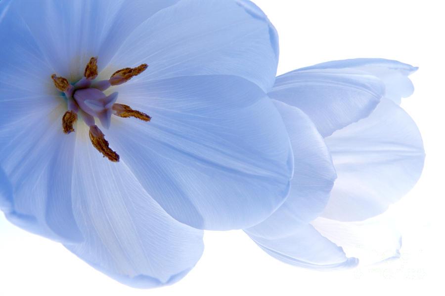 Tulip Photograph - Two White Tulips by Hideaki Sakurai
