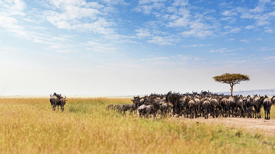 Wildebeest Photograph - Two Wildebeest Standing Out From Crowd by Susan Schmitz