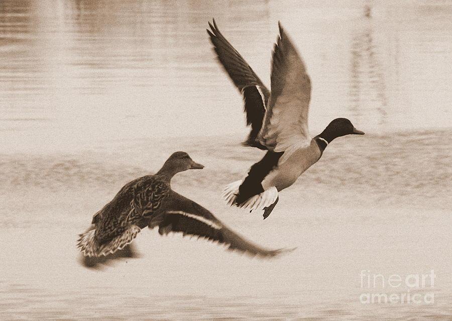 Ducks Photograph - Two Winter Ducks In Flight by Carol Groenen