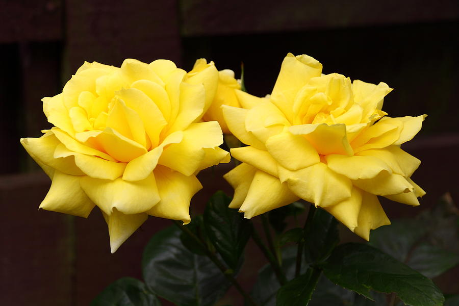 Yellow Rose Photograph - Two Yellow Rose Buds by Stephen Athea