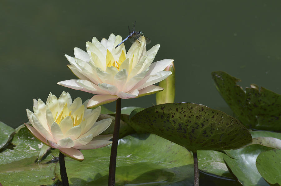 Water Lilies Photograph - Two Yellow Water Lilies by Linda Geiger