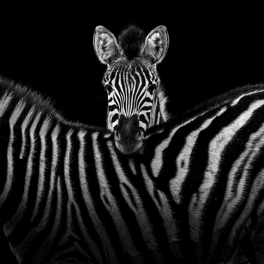 Two Zebras In Black And White Photograph by Lukas Holas