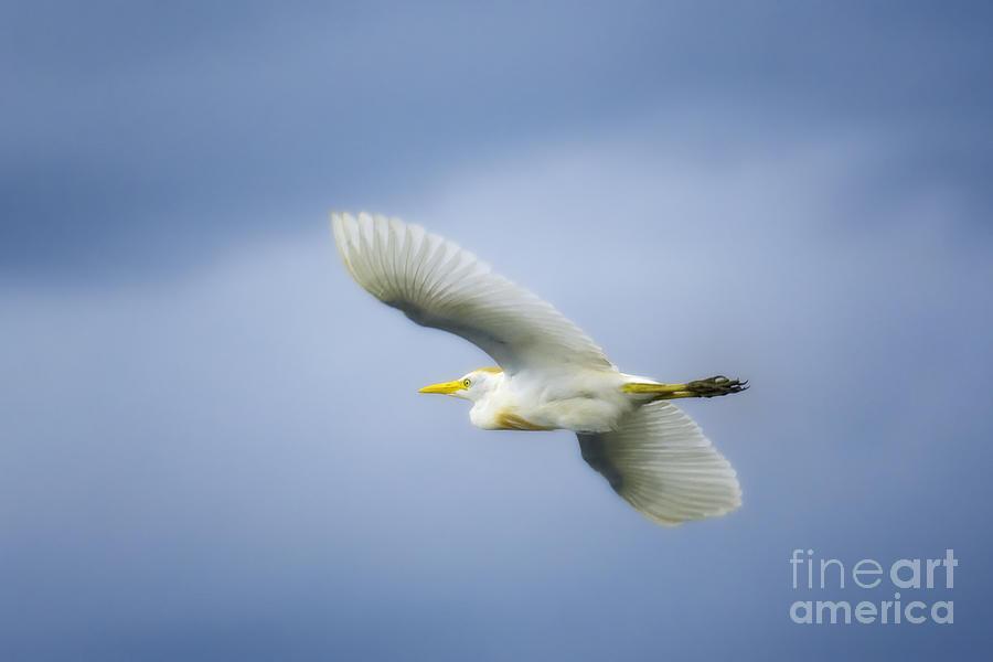 Cattle Egret Photograph - Ubiquitous by Patrick M Lynch