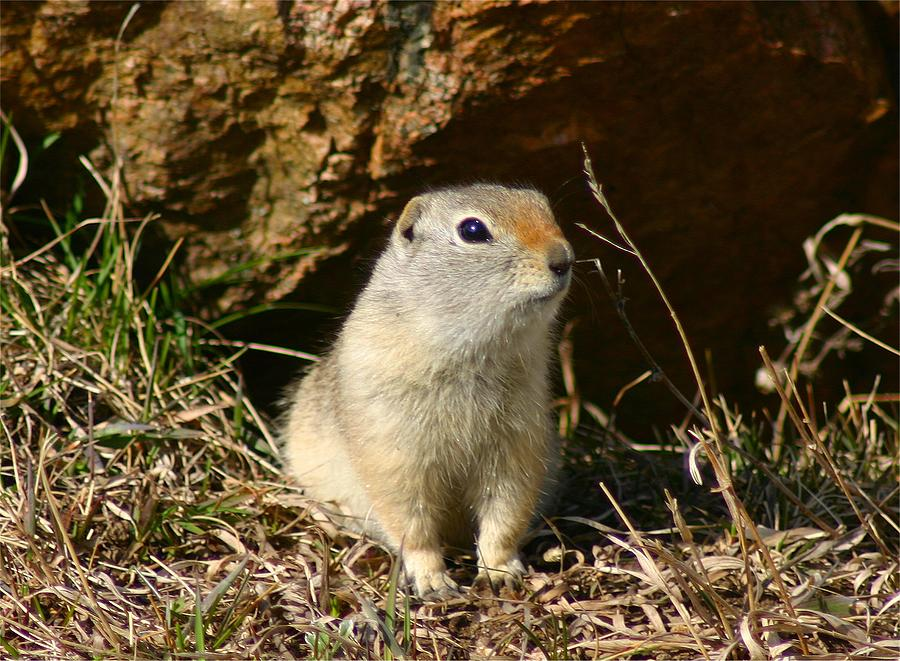 Wildlife Photograph - Uinta Ground Squirrel by Perspective Imagery