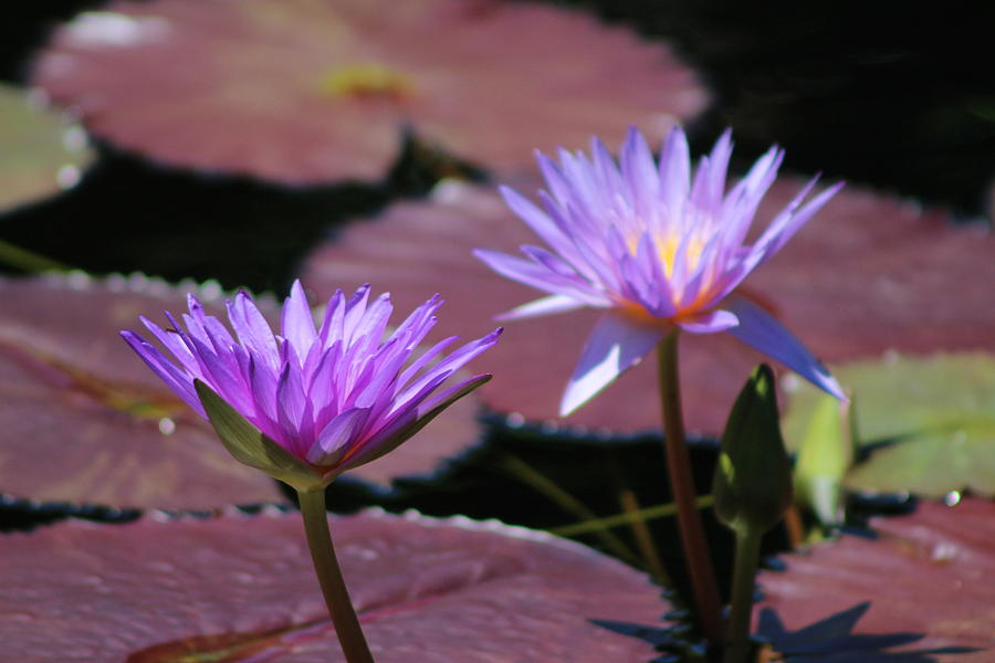 Blue Lotus Flower Photograph - Ultraviolet Lotus Flower on Burgundy Lily Pads by Colleen Cornelius