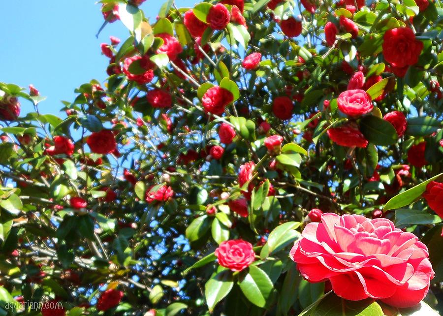 Uncommon Camellias by Kristin Aquariann