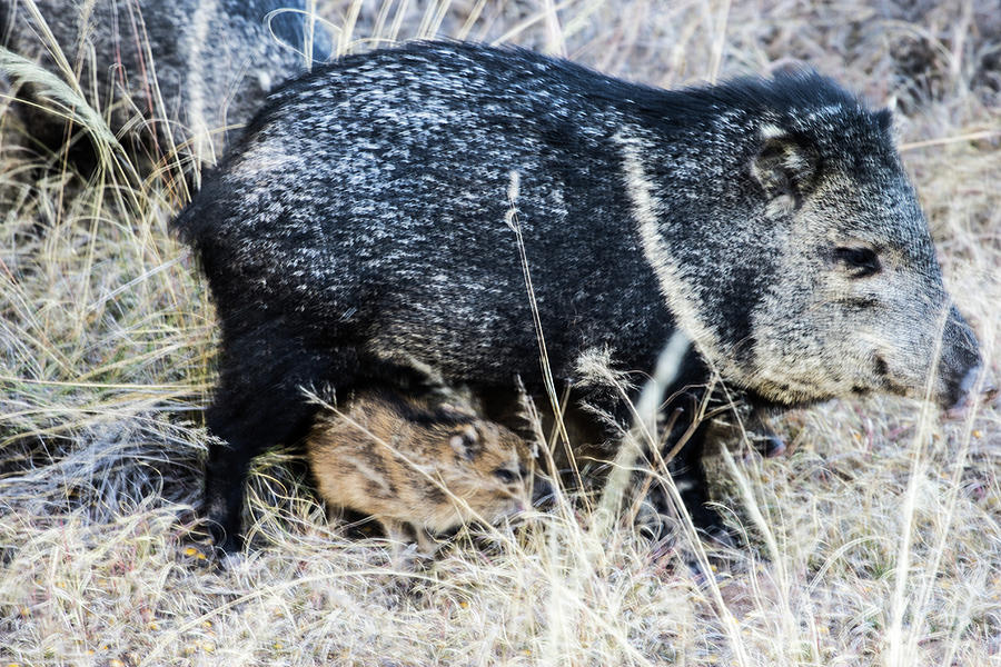 Under Foot Javelina Mom And Babies Photograph