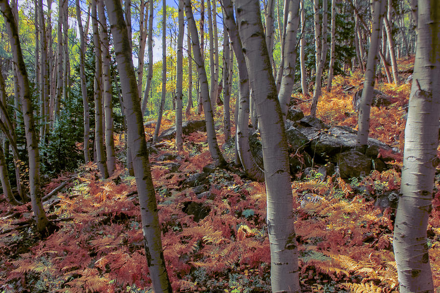 Fall Photograph - Under The Aspens by Perspective Imagery