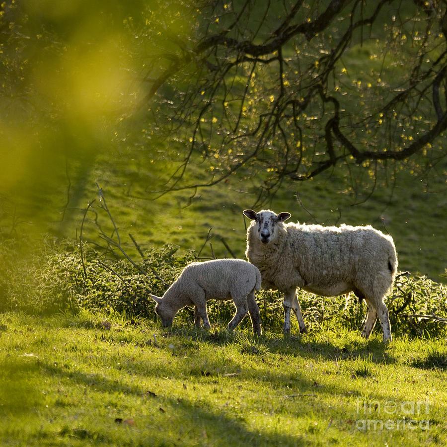 Lamb Photograph - Under The Setting Sun by Angel Ciesniarska