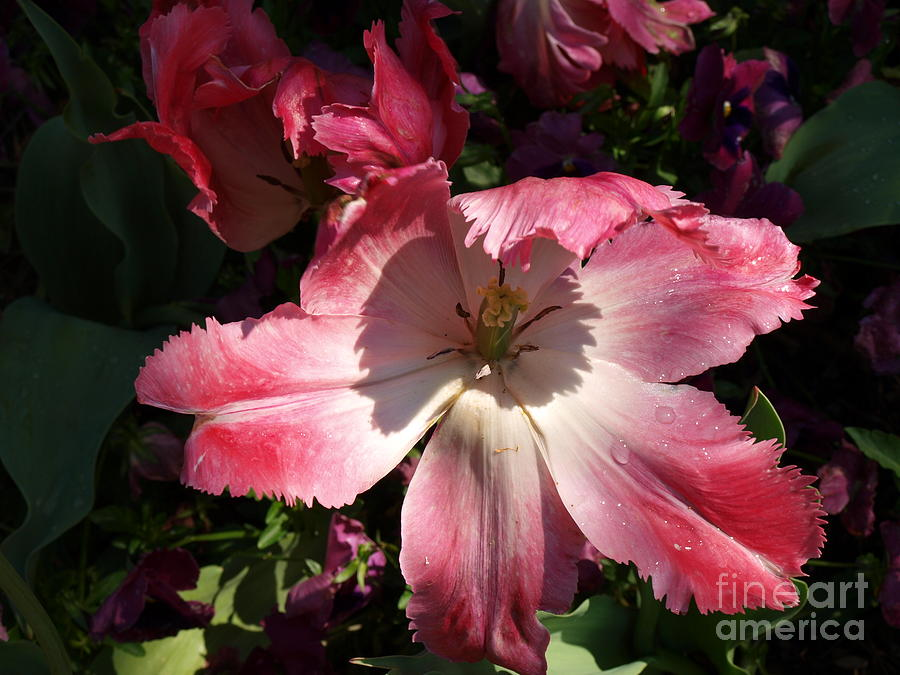 Pink Photograph - Under The Shadow by Judy  Waller