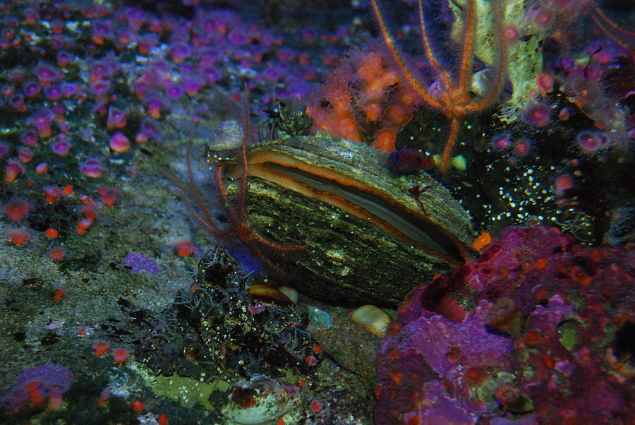 Clam Photograph - Undersea Clam by AJ Harlan