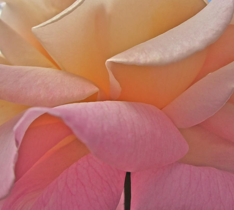 Rose Photograph - Understood Simplicity by Gwyn Newcombe