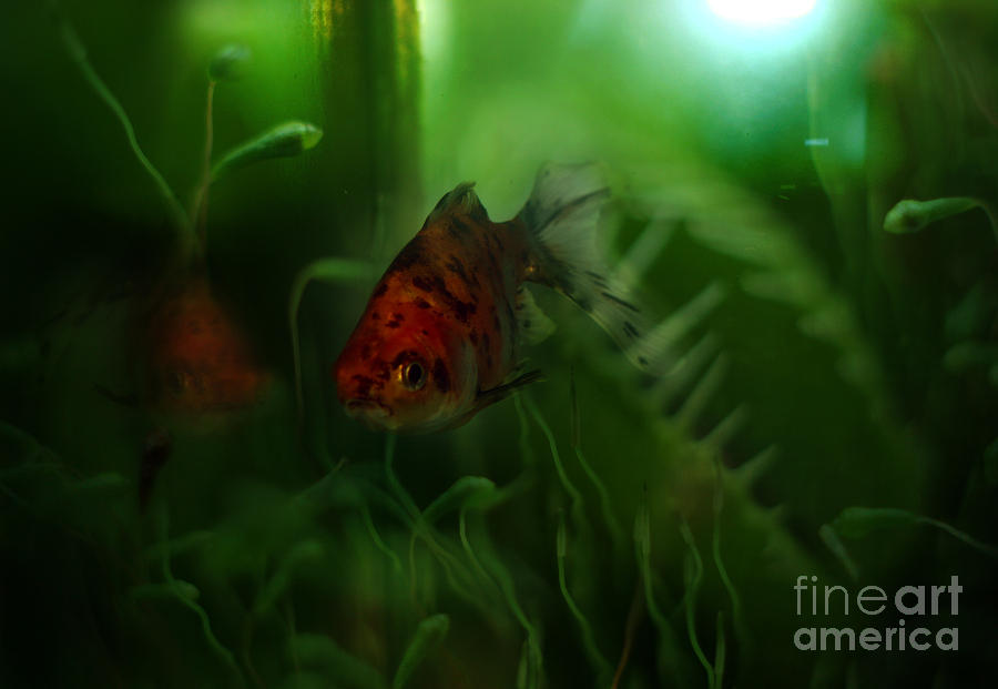 Goldfish Photograph - Underwater World by Angel  Tarantella