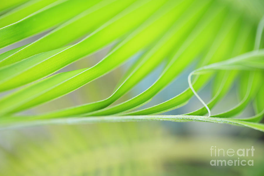 Unfurling Palm Leaf Macro by Charmian Vistaunet