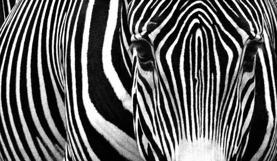 Zebra Photograph - Unique Fingerprint  by Donna Pagakis