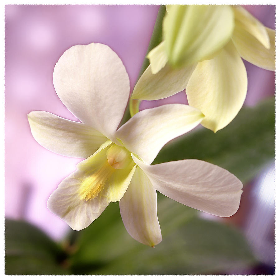 White Flower Photograph - Unique White Orchid by Mike McGlothlen