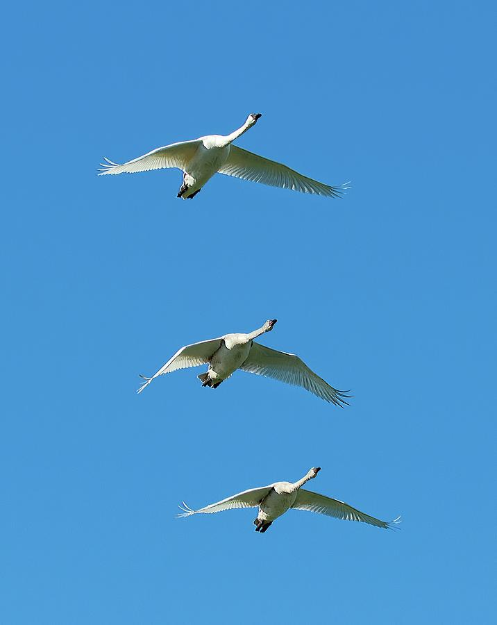 Trumpeter Swan Photograph - Unison by Sheldon Bilsker
