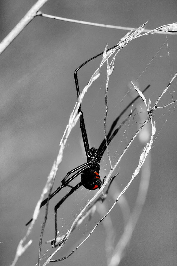 Black Widow Photograph - Unmistakable  by JC Findley