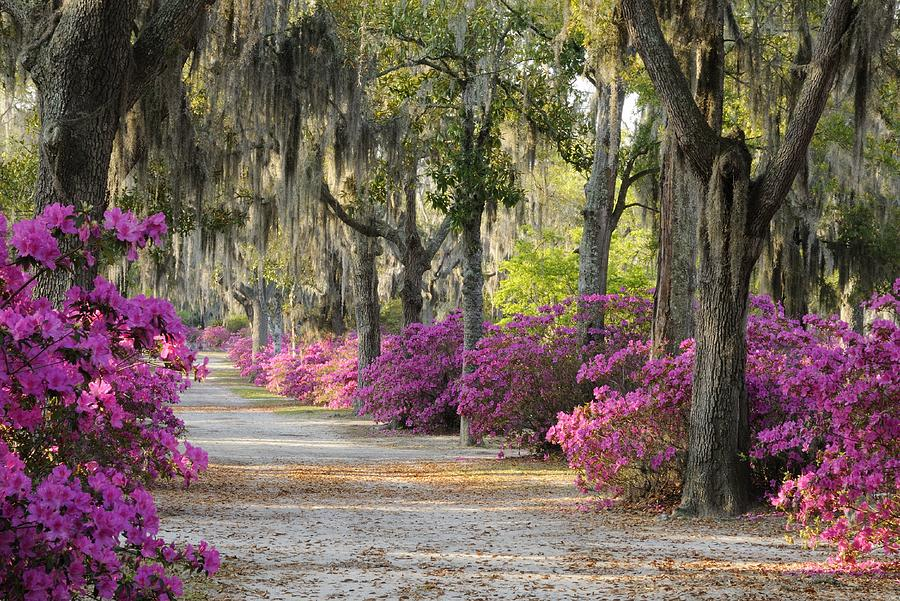 Unpaved road with Azaleas and Oaks by Bradford Martin