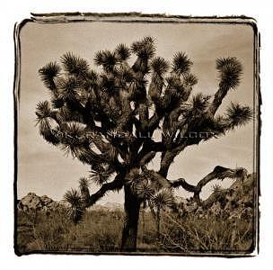 Joshua Tree Photograph - Untitled Joshua Tree 1 by K Randall Wilcox