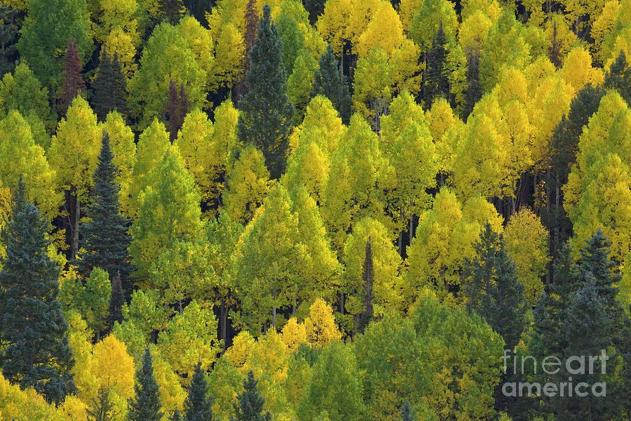 Autumn Quaking Aspens, Colorado Photograph by Yva Momatiuk and John Eastcott