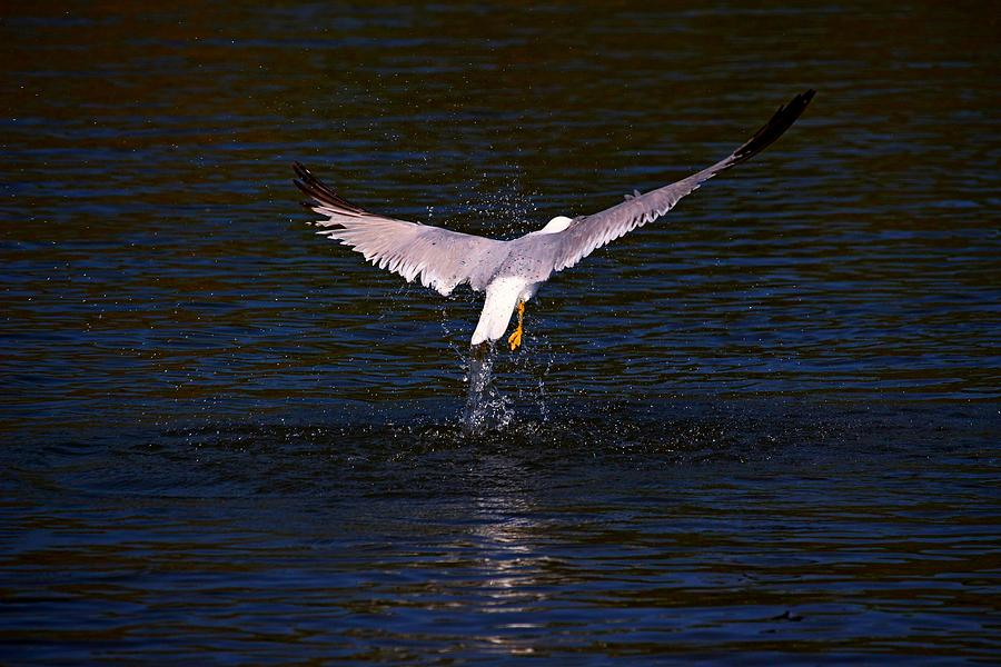 Bird Photograph - Up And Away II by Amanda Struz