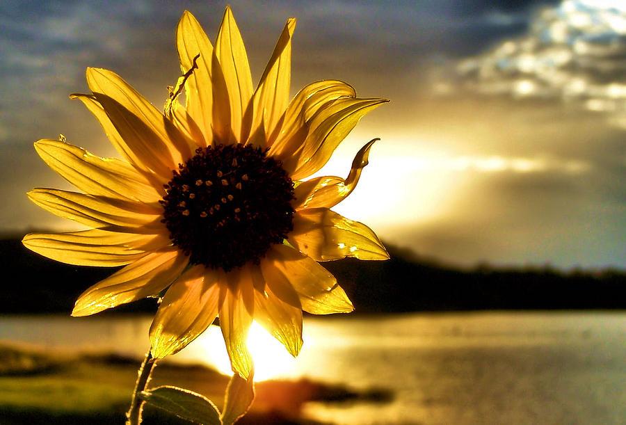 Sunflower Photograph - Up Lit by Karen Scovill
