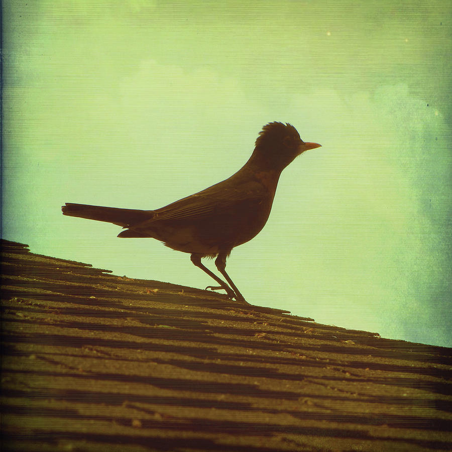 Robin Photograph - Up On A Roof by Amy Tyler