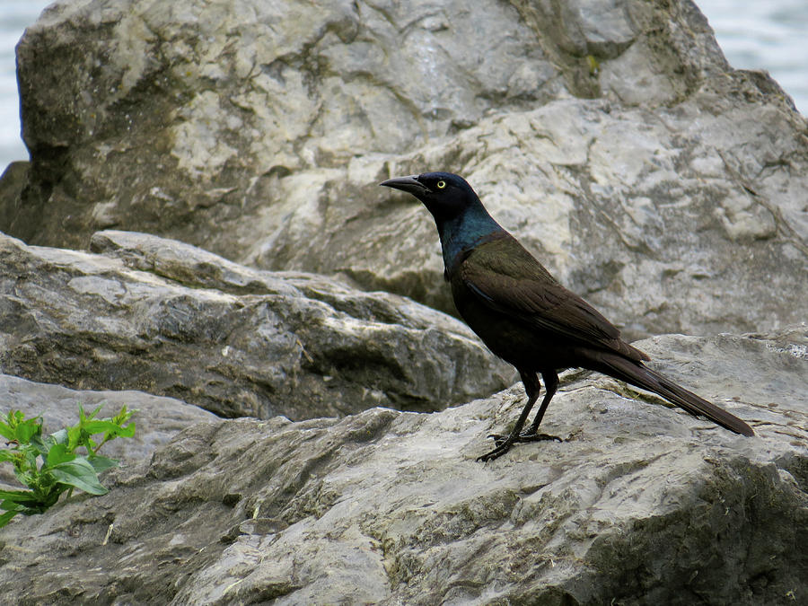 Grackle Photograph - Upon the Rocks by Azthet Photography