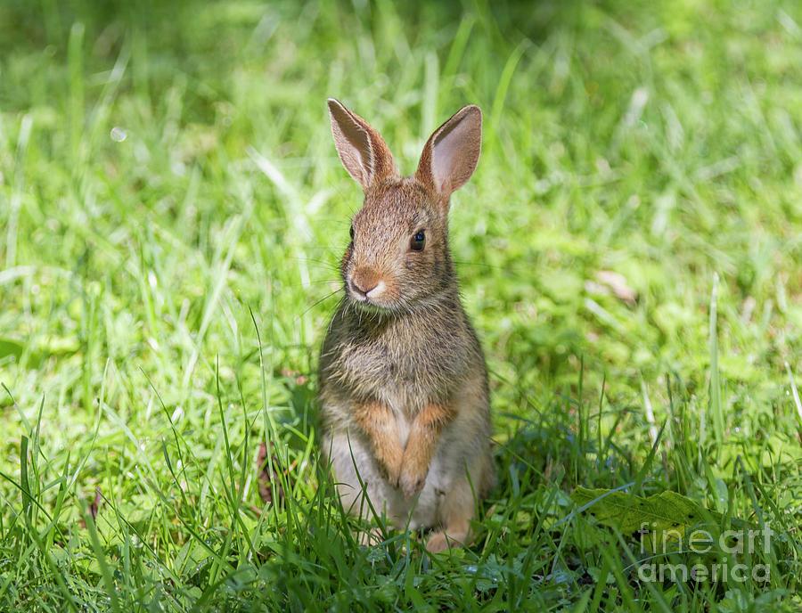 Upright Rabbit by Chris Scroggins
