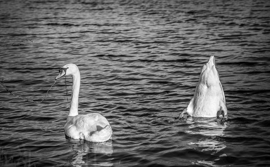 Swan Photograph - Ups And Downs by Gary Gillette