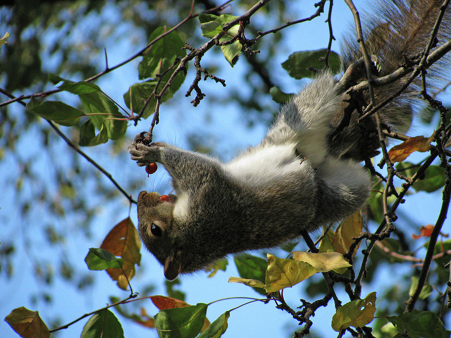 Squirrel Photograph - Upside Down Lunch by Jake Danishevsky