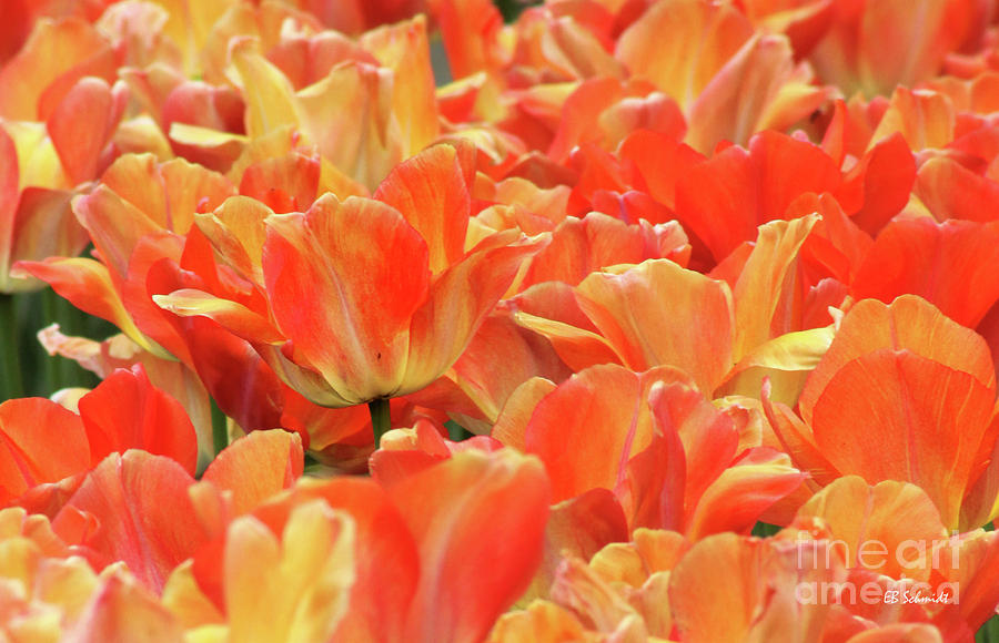 Tulip Photograph - United States Capital Tulips by E B Schmidt