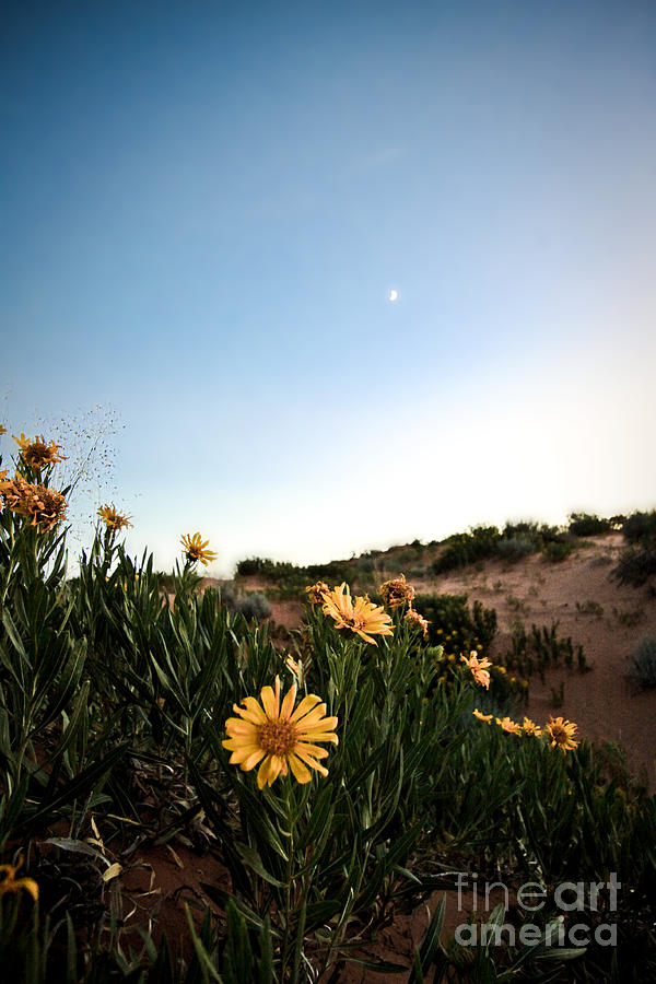 Flowers Photograph - Utah Coral Sand Dune Flowers by Ryan Kelly