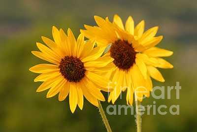 Sunflower Photograph - Utah Sunflowers by Dennis Hammer