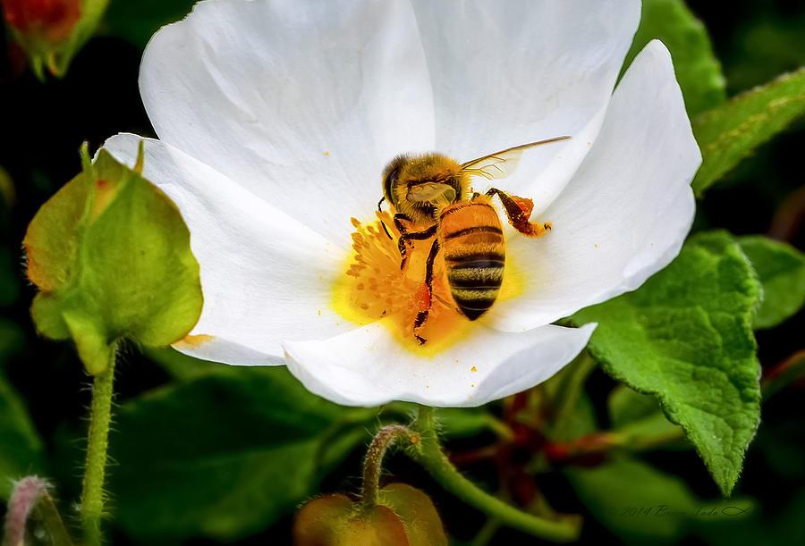 Vacaville Honey Bee by Brian Tada