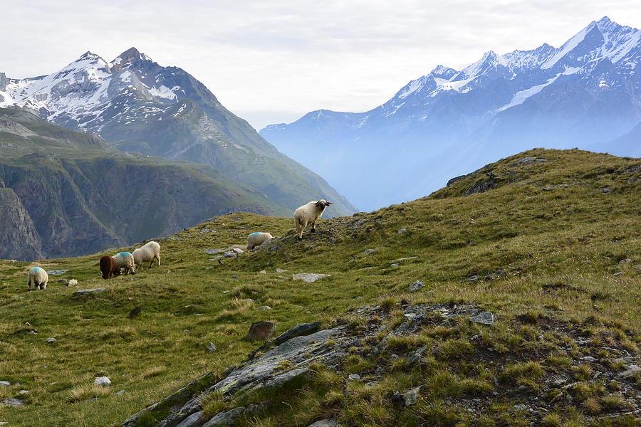 Zermatt Photograph - Valais Blacknose Sheep by Two Small Potatoes