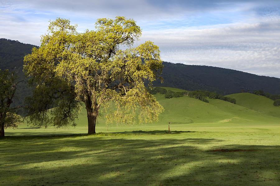 Valley Oak Sentinel Photograph