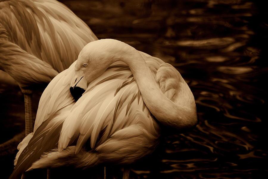 Flamingo Photograph - Vanity II by Susanne Van Hulst