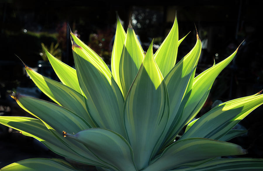 Variegated Agave Photograph By Stephen Mori Photography